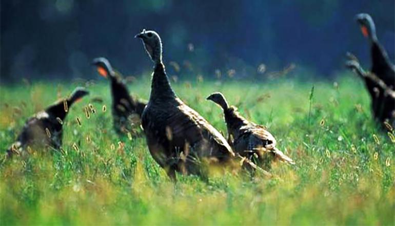 Fall Turkey Hunting Season